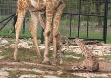 "Rare twin reticulated giraffes ""Wasswa and Nakato"" are shown with their mother in this undated handout photo courtesy of Natural Bridge Wildlife Ranch near New Braunfels, Texas provided to Reuters May 29, 2013. Tiffany Soechting/Natural Bridge Wildlife Ranch/Handout via Reuters"