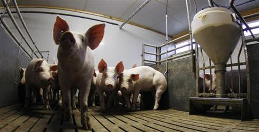 Scientists say new study shows pig health hurt by GMO feed - Reuters