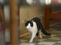 Mayoral candidate Morris the Cat is seen at his home in Xalapa, capital of the state of Veracruz June 15, 2013. REUTERS/Oscar Martinez