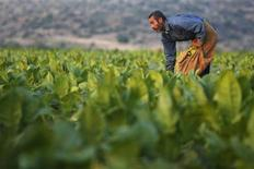 A worker harvests tobacco leaves on a field in the West Bank village of Jalqamus near Jenin June 15, 2013. REUTERS/Mohamad Torokman