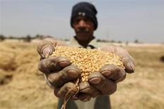 Фермер держит в ладонях зерно во время уборки урожая в провинции Эль-Менуфа под Каиром 23 апреля 2013 года. Запасов импортной пшеницы в Египте осталось менее чем на два месяца, заявил министр снабжения свергнутого президента Мухаммеда Мурси, нарисовав более серьёзную картину нехватки питания, чем было известно до сих пор. REUTERS/Mohamed Abd El Ghany