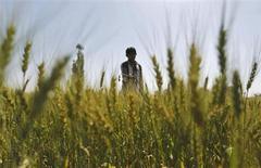Мужчина вносит удобрения на пшеничном поле в окрестностях индийского города Ахмедабад 8 февраля 2013 года. Цены на рынке минеральных удобрений вопреки прогнозам продолжают падать, восстановление может произойти лишь к осени, однако, скорее всего, оно будет незначительным, и производители вряд ли дождутся взрывного роста спроса и цен на свою продукцию. REUTERS/Amit Dave