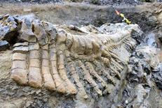 A fossilized tail of a duck-billed dinosaur, or hadrosaur, is seen in the Municipality of General Cepeda, Coahuila in this handout picture by National Institute of Anthropology and History (INAH) made available to Reuters on July 22, 2013. REUTERS/INAH/Handout via Reuters