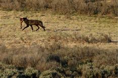 A wolf walks with a set of elk legs in the Hayden Valley after killing and eating it in Yellowstone National Park, Wyoming, in this June 20, 2011 file photo. REUTERS/Jim Urquhart/Files