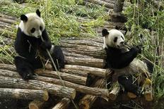 Huan Huan, panda femelle du zoo de Beauval (à gauche, en compagnie du mâle Yuan Zi), fêtera ses cinq ans ce samedi. Cet anniversaire est loin d'être anodin pour l'un des deux pandas géants prêtés l'an dernier par la Chine au parc zoologique du Loir-et-Cher puisque l'âge de cinq ans est celui de la maturité sexuelle chez ces mammifères. /Photo d'archives/REUTERS/Benoît Tessier