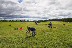 Migrant workers from Mexico and Honduras rake wild blueberries from a field in Deblois, Maine August 6, 2013. REUTERS/Dave Sherwood