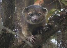 "An ""olinguito (Bassaricyon neblina),"" described as the first carnivore species to be discovered in the American continents in 35 years, is pictured in a cloud forest in South America, in this July 18. 2013 photograph released on August 15, 2013. REUTERS/Mark Gurney/Smithsonian"