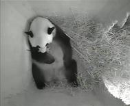 A still image from a monitoring camera shows giant panda mother Yang Yang holding her newborn cub inside a birth box at Schoenbrunn zoo in Vienna, August 15, 2013. REUTERS/Tiergarten Schoenbrunn/Handout via REUTERS