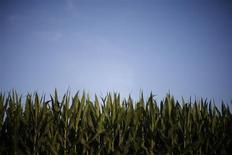 Plantações de milho em fazenda em Dixon, EUA. O prolongado efeito da devastadora seca do verão passado nos EUA reverteu o fluxo no poderoso rio Mississippi --para o milho, pelo menos--, com barcaças carregadas com grãos iniciando um raro movimento partindo de fazendas do sul para o norte, rumo às usinas de etanol do Meio-Oeste. 16/06/2013 REUTERS/Jim Young