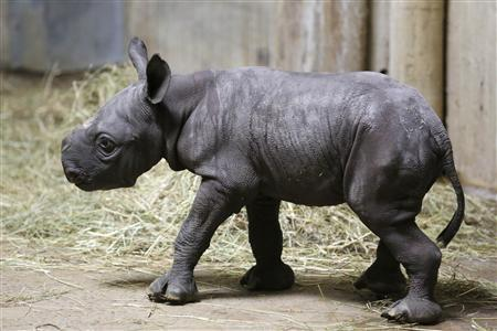 Endangered black rhino born at Chicago's Lincoln Park Zoo