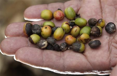 Central American coffee farmers fear ruin from rust fungus