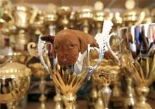 A Wire-haired Vizsla puppy sits in a trophy of one of her forebears at a kennel in Paty, 10 km west of Budapest July 17, 2013. REUTERS/Laszlo Balogh