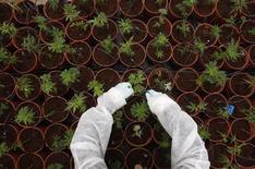 Рабочий ухаживает на кустами каннабиса на плантации близ израильского города Сафед 11 июня 2012 года. Канадский стартап хочет переделать пустующее здание шоколадной фабрики в восточном Онтарио в производство медицинской марихуаны, что может оживить местную экономику после того, как Hershey остановил здесь свой завод в 2008 году. REUTERS/Baz Ratner