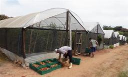 Trabalhadores coletam tomates em fazenda em Salto, 100 km a oeste de São Paulo, 29 de abril de 2013. As exportações do agronegócio brasileiro somaram 8,96 bilhões de dólares em setembro, crescimento de 3,3 por cento ante um ano antes, disse nesta quinta-feira o Ministério da Agricultura. 29/04/2013 REUTERS/Paulo Whitaker
