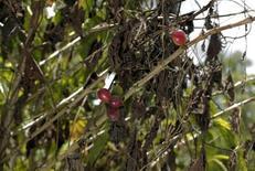 FOTO DE ARCHIVO: En la imagen se ven granos de café destruidos por el hongo de la roya en una plantación en Pérez Zeledón. 12 de julio, 2013. La producción de café en países de Centroamérica probablemente caiga bruscamente en el ciclo 2013-2014 por la plaga del hongo de la roya, aunado a precios más bajos que causarán dolores de cabeza para la industria, dijeron expertos reunidos el fin de semana en Costa Rica. El peor brote del hongo de la roya desde que llegó a América Central en 1976 está causando estragos en las plantaciones de la región, reduciendo la producción en varios países, y es probable que sigan las afectaciones durante años. REUTERS/Juan Carlos Ulate (COSTA RICA - NEGOCIOS MATERIAS PRIMAS AGRICULTURA)