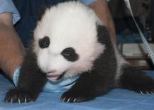 The newest baby panda born at the Smithsonian's National Zoo is seen in a handout picture taken in Washington October 29, 2013. REUTERS/Abby Wood, Smithsonian's National Zoo/Handout