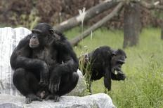 Chimpanzees enjoy the sun at Gut Aiderbichl's Sanctuary for Traumatized Chimpanzees and other Primates in Gaenserndorf, 50 kms (31 miles) northeast of Vienna, September 14, 2011. REUTERS/Herwig Prammer