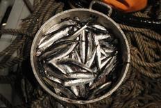 L'homme est positionné au même niveau que l'anchois dans la chaîne alimentaire, selon l'étude d'une équipe française qui a calculé pour la première fois le niveau trophique humain. Connu pour la majeure partie des espèces terrestres et marines, des chercheurs de l'Ifremer, de l'Institut de recherche pour le développement (IRD) et d'Agrocampus-Ouest ont mis en évidence un niveau trophique de 2.2 pour l'homme, proche de celui de l'anchois ou du cochon. /Photo d'archives/REUTERS/Enrique Castro-Mendivil