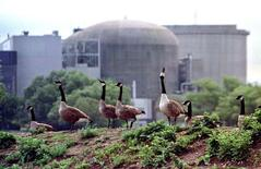Canada geese stand near the troubled Ontario Hydro Pickering nuclear power station August 13, 1997.
