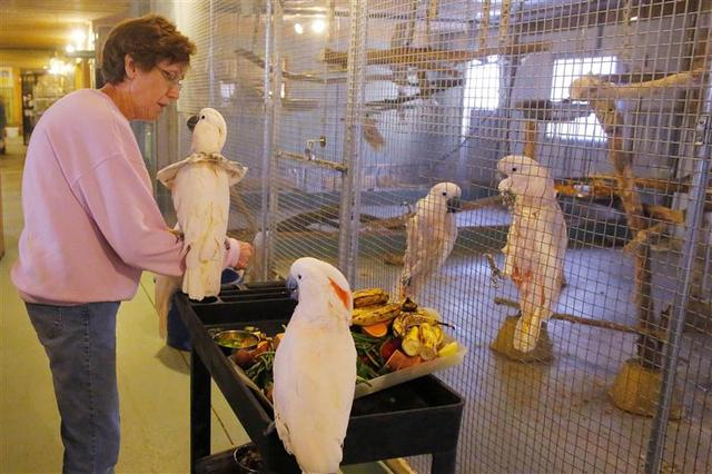 Cockatoos perch on a food cart near volunteer Beverly Lewis at the Foster Parrots program at the New England Exotic Wildlife Sanctuary in Hope Valley, Rhode Island December 4, 2013. REUTERS/Brian Snyder