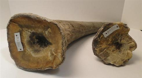 Chinese citizen pleads guilty to rhino horn smuggling in New Jersey