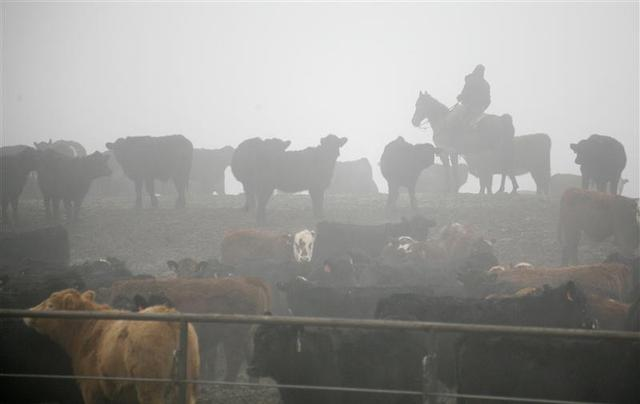 A cowboy moves livestock in a cattle feedlot next to a Tyson slaughterhouse near Pasco in Washington December 26, 2013. REUTERS/Ross Courtney