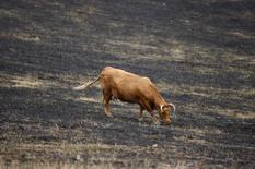Vaca busca por pasto no município de St Andrews, ao norte de Melbourne, Austrália. Uma forte onda de calor está afetando o centro e o norte da Austrália, prejudicando ainda mais criadores de gado que já vinham abatendo gado ao longo de 2013, enquanto o país era sufocado pelo ano mais quente já registrado. 8/02/2009. REUTERS/Daniel Munoz