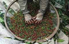 Trabalhador seleciona grãos de café durante colheita em cafezal de uma fazenda em Espírito Santo do Pinhal, 200km a leste de São Paulo. A safra 2014/15 de café do Brasil deve cair bem abaixo das expectativas, como resultado de uma intensa poda e de um estresse das árvores depois de duas grandes colheitas consecutivas no maior produtor global, afirmou nesta segunda-feira a Volcafe, divisão de café da trading ED&F Man. 18/05/2012. REUTERS/Nacho Doce