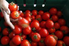 Funcionário seleciona tomates em uma fazenda de Salto, 100 km a oeste de São Paulo. A Argentina, uma das maiores produtoras agropecuárias do mundo, está disposta a importar alimentos para garantir o êxito de um esforço para controlar preços ante a alta inflação no país, e pode comprar tomates do Brasil, disse o governo nesta quarta-feira. 26/05/2013. REUTERS/Paulo Whitaker