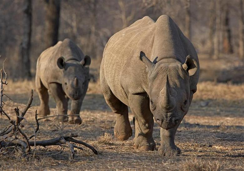 An endangered east African black rhinoceros and her young one walk in Tanzania's Serengeti park in this file photo from May 21, 2010, during the start of an initiative that would see 32 rhinos flown to Tanzania from South Africa. REUTERS/Tom Kirkwood/Files
