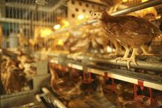 Galinhas em uma granja em Maroue, perto de Lamballe, na Britânia central. A expectativa de recuperação do consumo de frango no Brasil, maior exportador global do produto, deverá implicar em aumento da competição com o mercado externo em 2014, refletindo em alta dos preços para exportação, disse nesta quinta-feira o presidente da associação que reúne a indústria. 06/11/2013 REUTERS/Stephane Mahe