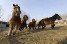 Ponies run during their daily training at a horse club owned by Yu Qian, a famous Chinese crosstalk performer, ahead of the upcoming Chinese lunar New Year in Beijing, January 21, 2014. REUTERS/Jason Lee