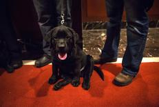 A Labrador Retriever puppy is seen at the American Kennel Club (AKC) in New York January 31, 2014. REUTERS/Eric Thayer