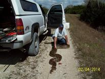 A near record-breaking Burmese Python measuring more than 18-feet long (5.5 meters) is shown in this January 4, 2014 handout photo provided by South Florida Water Management District, January 5, 2014 in Everglades National Park near Miami, Florida. REUTERS/South Florida Water Management District/Handout via Reuters