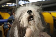 Mojo, an Old English Sheepdog, is cleaned in the penning area at the 2014 Westminster Kennel Club Dog Show in New York, February 10, 2014. REUTERS/Shannon Stapleton