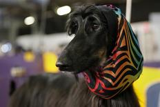 Abbs, an Afghan Hound, stands in the penning area at the 2014 Westminster Kennel Club Dog Show in New York, February 10, 2014. REUTERS/Shannon Stapleton