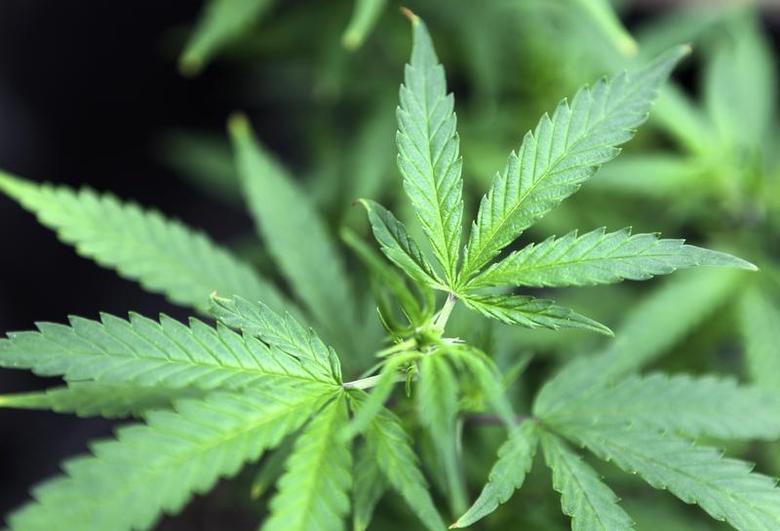 Marijuana plants are displayed for sale at Canna Pi medical marijuana dispensary in Seattle, Washington, November 27, 2012 file photo. REUTERS/Anthony Bolante