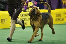 Nathan, a bloodhound, competes in the hound group during day one of judging of the 2014 Westminster Kennel Club Dog Show in New York, February 10, 2014. REUTERS/Eduardo Munoz