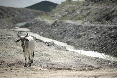 Una vaca avanza por un canal construido para redirigir el agua del río Sao Francisco cerca de Custodia, Brasil, ene 25 2014. Un clima inusualmente seco y caluroso que ha estado reduciendo el rendimiento de los cultivos en las últimas semanas en toda la zona agrícola del centro meridional de Brasil también demoraría el inicio de la nueva temporada de molienda de azúcar de 2014/2015, dijeron especialistas. REUTERS/Ueslei Marcelino
