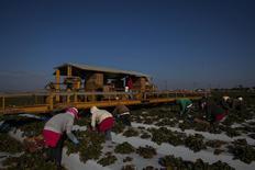 Unos trabajadores en una granja de fresas en Ventura, EEUU, dic 21 2013. Los precios al productor en Estados Unidos subieron en enero por segundo mes consecutivo, impulsados por un incremento en el costo de los bienes, pero había pocas señales de una aceleración amplia en las presiones inflacionarias en las puertas de las fábricas. REUTERS/Eric Thayer