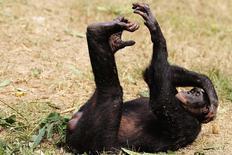 Un singe bonobo dans un sanctuaire proche de Kinshasa, la capitale de la République démocratique du Congo. Certains animaux, dont les bonobos, sont capables, comme les humains, de taper en rythme à l'écoute d'une musique, montre une étude présentée samedi à Chicago lors de la conférence de l'Association américaine pour l'avancement de la science. /Photo d'archives/REUTERS/Katrina Manson