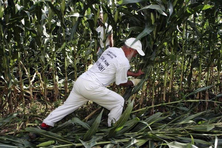 An Anti-GMO activist destroys genetically-modified corn in a field in Miradou near Toulouse in southeastern France August 19, 2006. REUTERS/Georges Bartoli