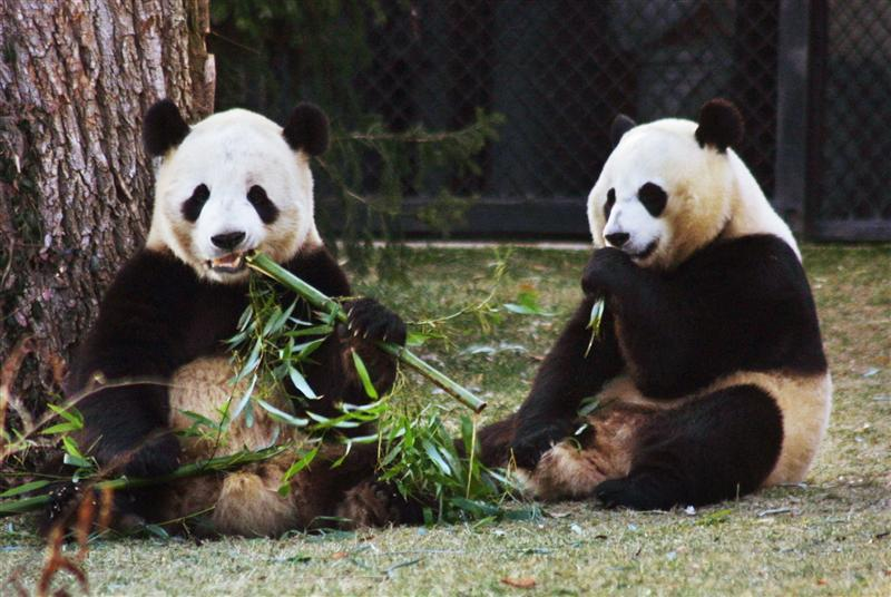 bamboo munching giant panda also has a sweet tooth reuters