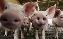 Porcos vistos em uma fazenda em Lucas do Rio Verde, Mato Grosso. As indústrias de carne suína do Brasil pediram nesta quarta-feira a suspensão total de importação de animais reprodutores e material genético dos Estados Unidos, para garantir que o vírus da diarreia suína --que já matou milhões de leitões nos EUA-- não chegue ao país. 28/02/2008 REUTERS/Paulo Whitaker