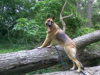IV, a 5 year-old German Shepherd dog belonging to Barrett Griner IV, is seen in an undated photo in Bridgeton, New Jersey. REUTERS/Barrett Griner Iv/handout via Reuters
