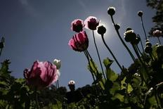 Poppy plants used to make heroin are seen at a clandestine plantation during a military operation in Sierra de Culiacan in the state of Sinaloa December 8, 2011. REUTERS/Bernardo Montoya