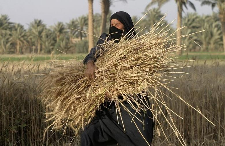 A woman carries a bundle of newly harvested wheat stalks in Albu Efan village southwest of Falluja, 50 km (30 miles) west of Baghdad, April 30, 2008.  REUTERS/Mohanned Faisal