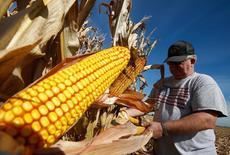 Un agricultor inspecciona una mazorca de maíz en Minooka, 24 septiembre, 2014.  El Consejo Internacional de Cereales elevó el jueves sus previsiones para la cosecha mundial de trigo del periodo 2014/2015 en 4 millones de toneladas, a un récord de 717 millones, reflejando ampliamente una mejora en el panorama del grano en la Unión Europea y Ucrania. REUTERS/Jim Young