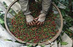 Un trabajador selecciona granos de café durante época de cosecha en un campo en Espirito Santo do Pinhal. Imagen de archivo, 18 mayo, 2012.  El pronóstico de lluvias que traería alivio a las áreas productoras de caña de azúcar y café arábigo en Brasil en los próximos 15 días se deterioró y ahora se estima que la mitad de esas regiones permanecerían secas, dijo el miércoles el Commodities Weather Group con sede en Estados Unidos.  REUTERS/Nacho Doce