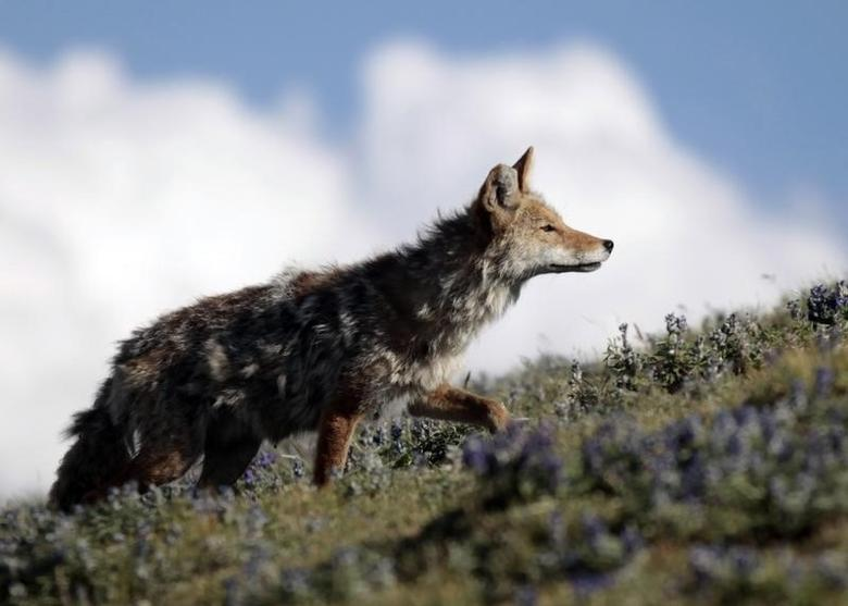 Nevada wildlife managers reject ban on coyote-hunting